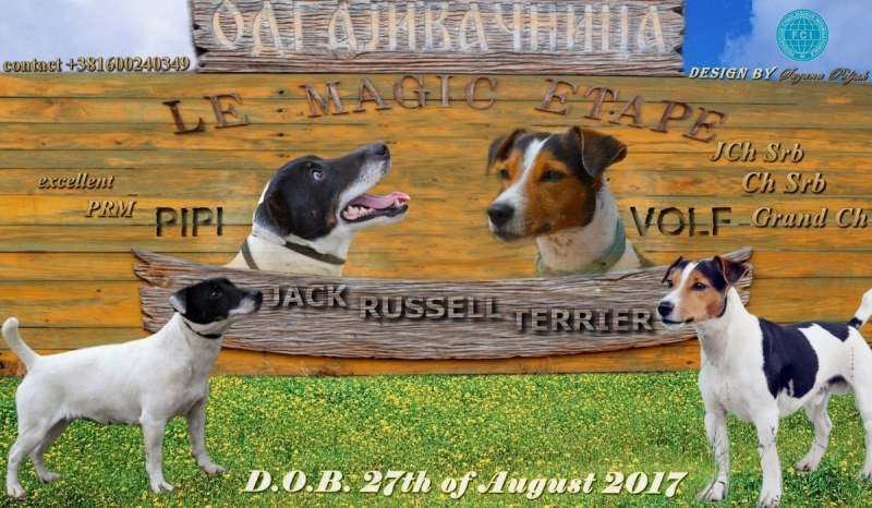Džek Rasel terijer-Jack Russell Terrier